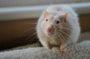 К чему снится укус крысы