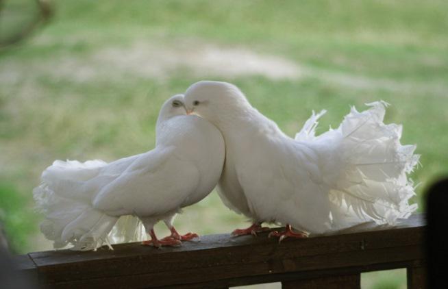 Народные приметы голубь на подоконнике. Действует ли примета, что голуби воркуют на подоконнике где будет свадьба